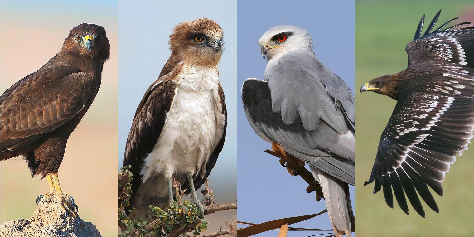 Birds of Prey in Kuwait