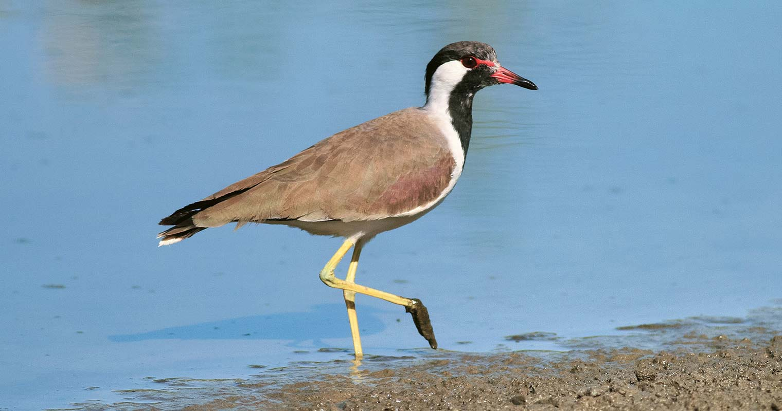 Red-wattled Lapwing (Graham Whitehead)