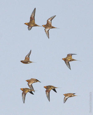 Pin-tailed Sandgrouse flock - a very rare sight (photo by Khaled Al Nasrallah)