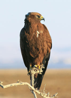 Long-legged Buzzard (MK)