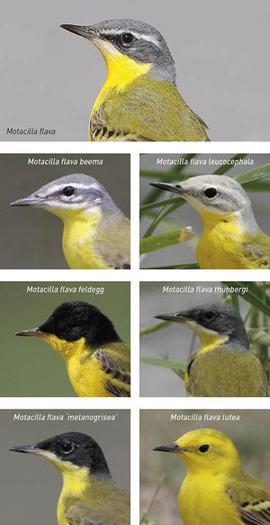 Very closely related subspecies of Yellow Wagtail (Motacilla flava) are identified by the male's head patterns.