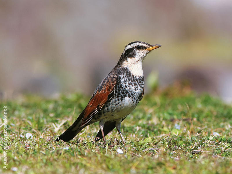 Dusky Thrush (JAPAN)