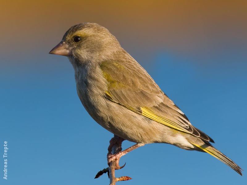 European Greenfinch (female, Gremany)