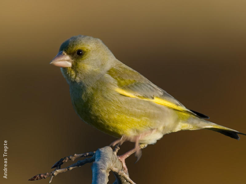 European Greenfinch (male, Gremany)