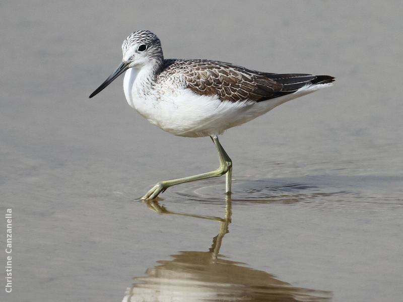 Common Greenshank (Winter)