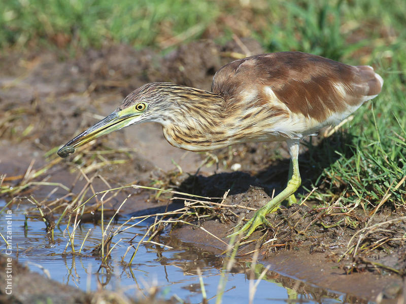 Squacco Heron (Immature autumn)