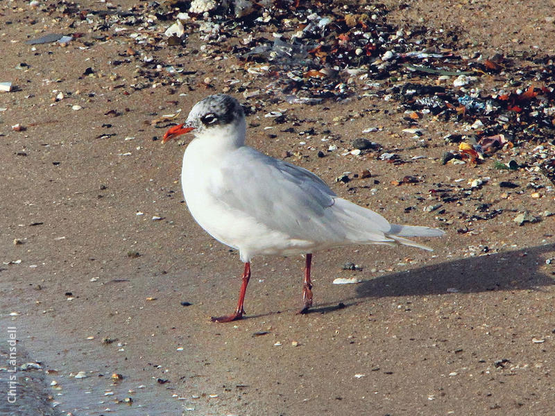 Mediterranean Gull (Winter)
