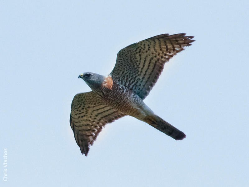 Levant Sparrowhawk (Immature male, GREECE)