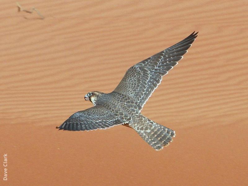 Barbary Falcon (UAE)