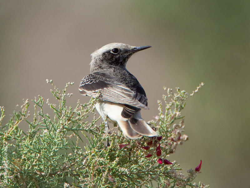 Hooded Wheatear (Male winter)