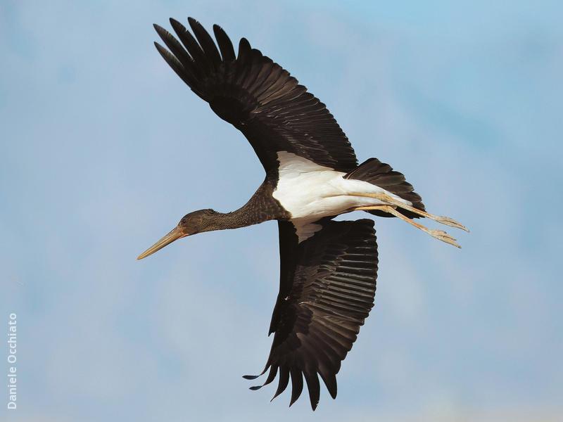 Black Stork (Immature,EGYPT)