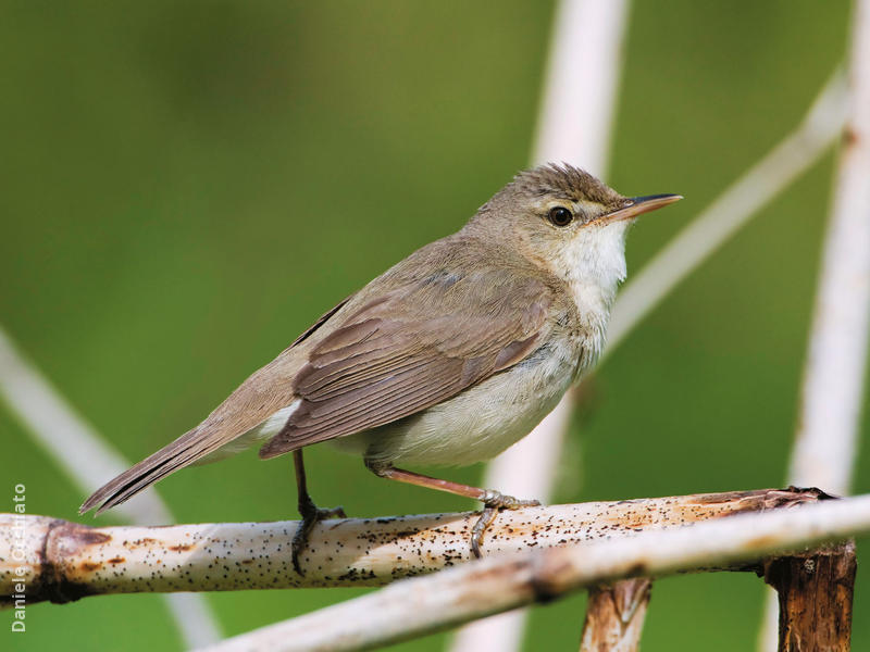 Blyth's Reed Warbler (FINLAND)