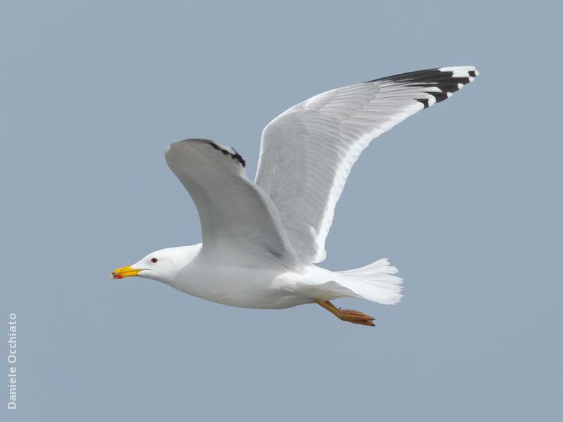 Caspian Gull (Early spring)