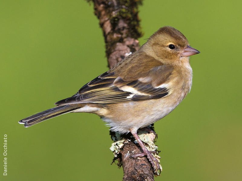 Common Chaffinch (Female, ITALY)