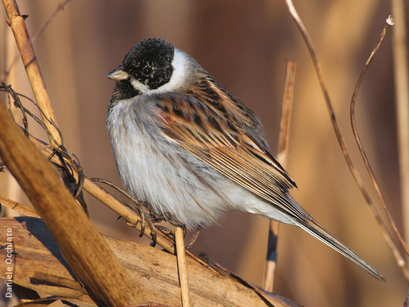 Common Reed Bunting (Male, ITALY)
