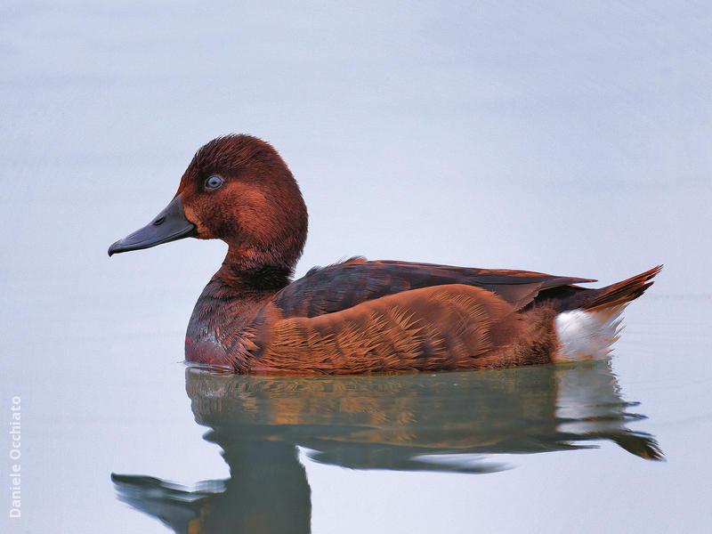 Ferruginous Duck (Female,ITALY)