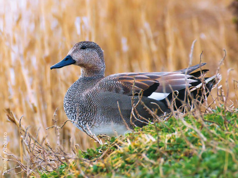 Gadwall (Male,ITALY)