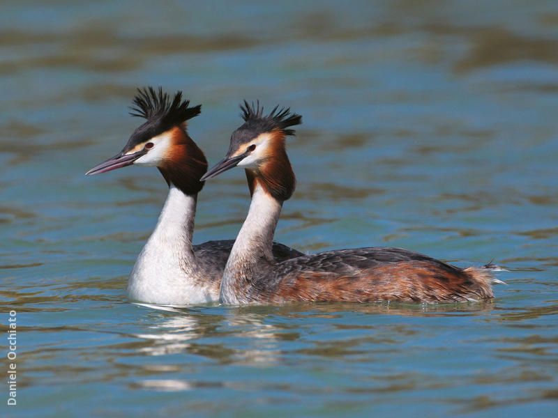 Great Crested Grebe (Breeding plumage,ITALY)