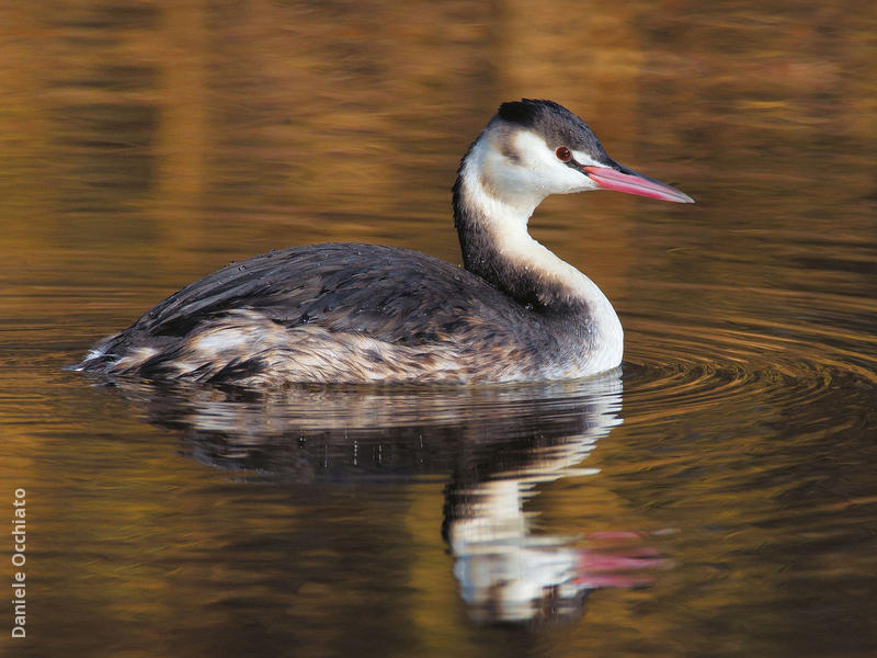 Great Crested Grebe (Winter, ITALY)