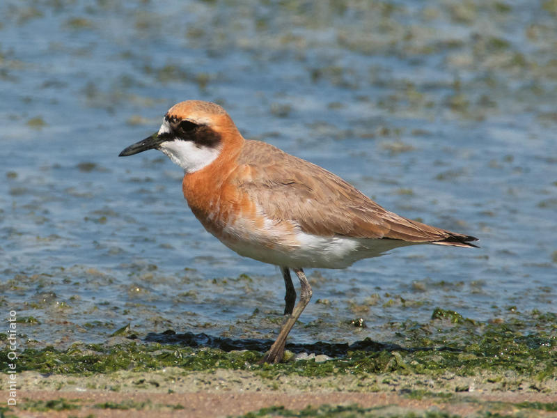 Greater Sand Plover (Breeding plumage)