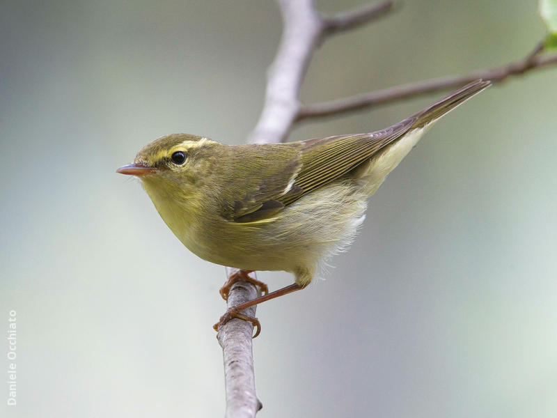 Green Warbler (TURKEY)