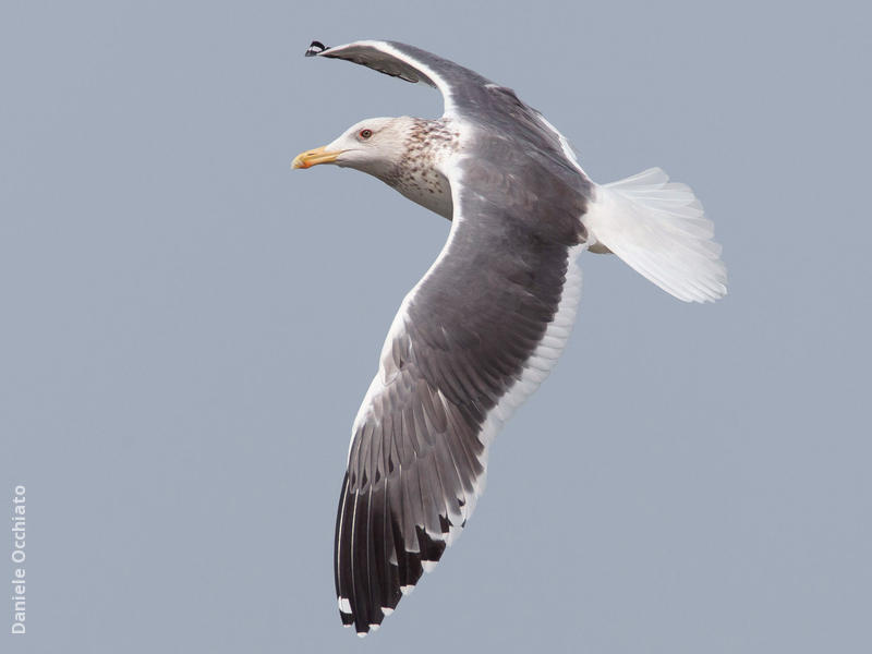 Heuglin's Gull (Winter)