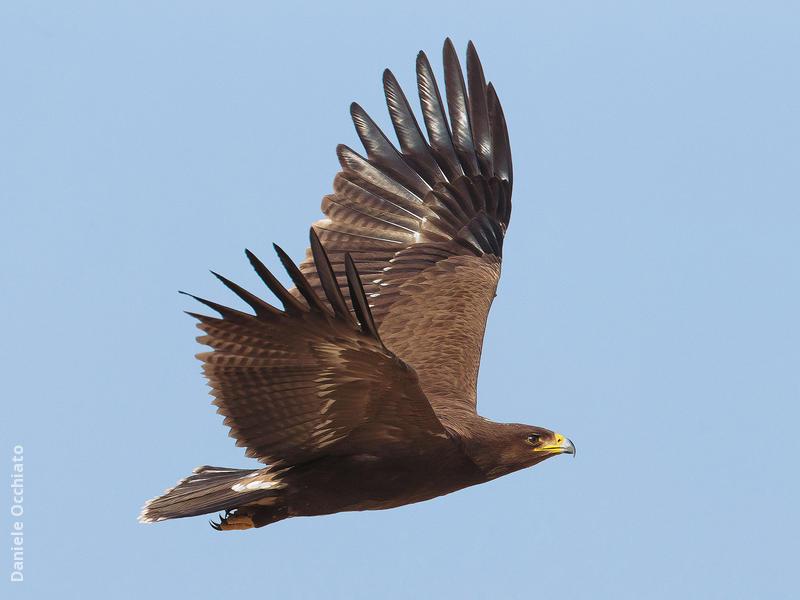 Lesser Spotted Eagle (EGYPT)