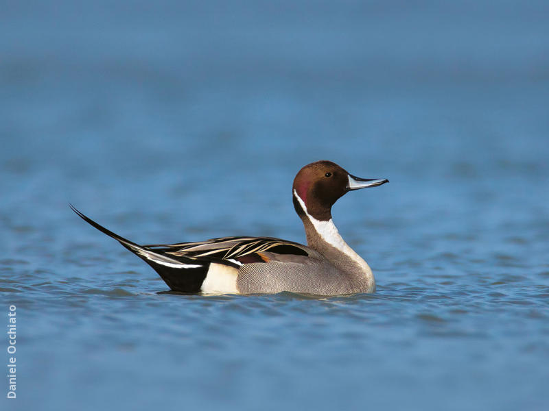 Northern Pintail (Male,ITALY)