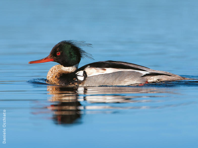 Red-breasted Merganser (Male, ITALY)