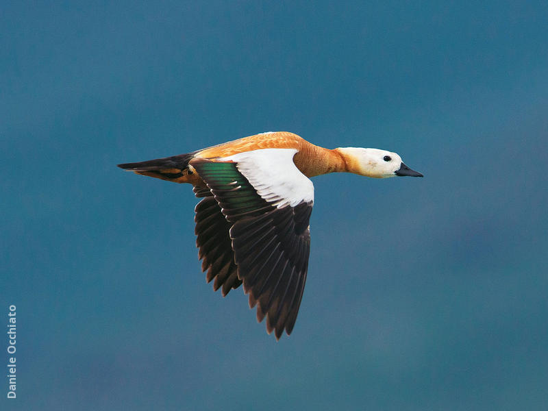 Ruddy Shelduck (ITALY)