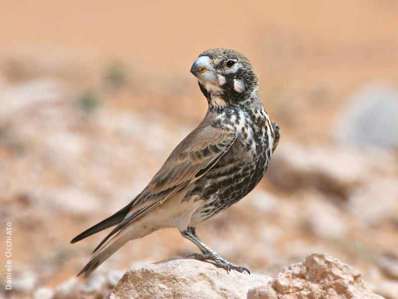 Thick-billed Lark (Male spring, TUNISIA)