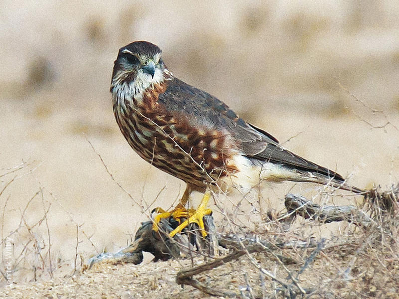 Merlin (Male, UAE)
