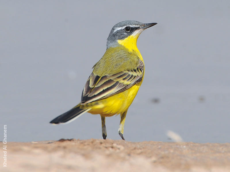 Blue-headed Wagtail (Male)