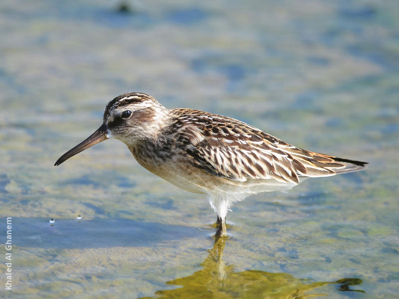 Broad-billed Sandpiper (Early autumn)