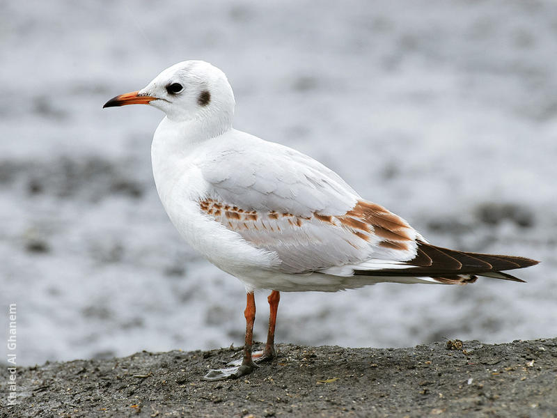 Common Black-headed Gull (Immature)