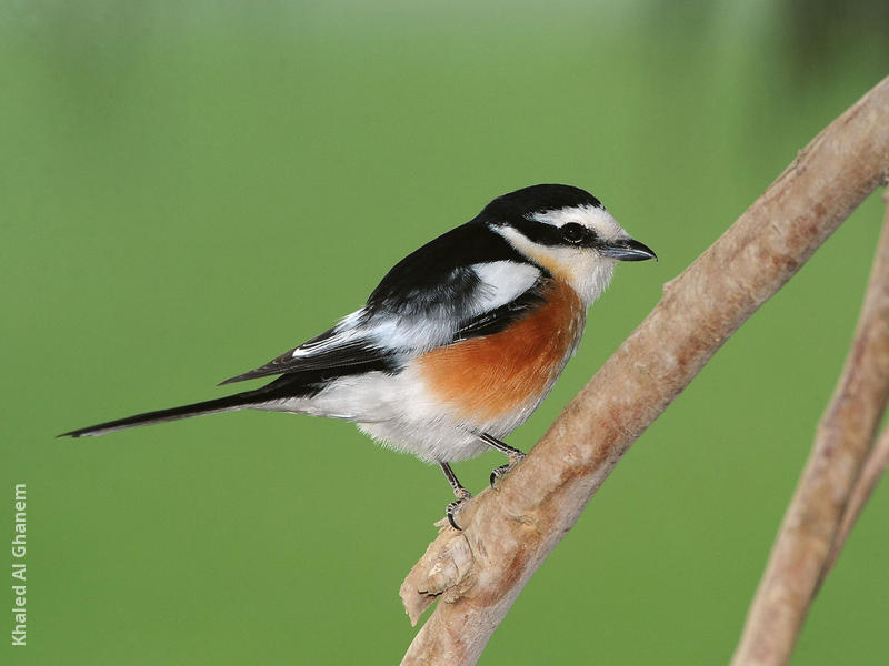 Masked Shrike (Male)