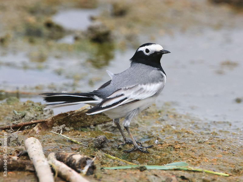 Masked Wagtail (Spring)