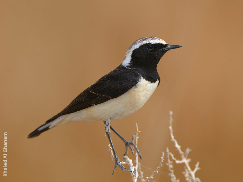 Pied Wheatear (Male breeding plumage)