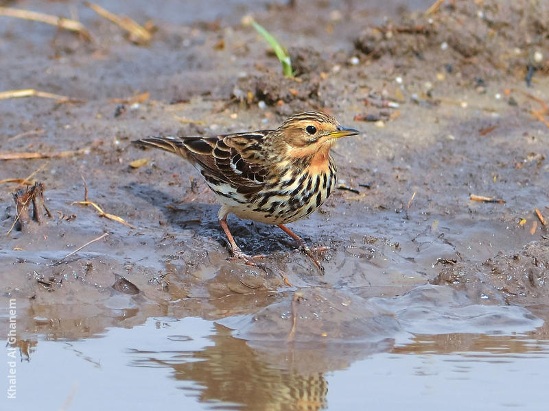 Red-throated Pipit (Non-breeding)
