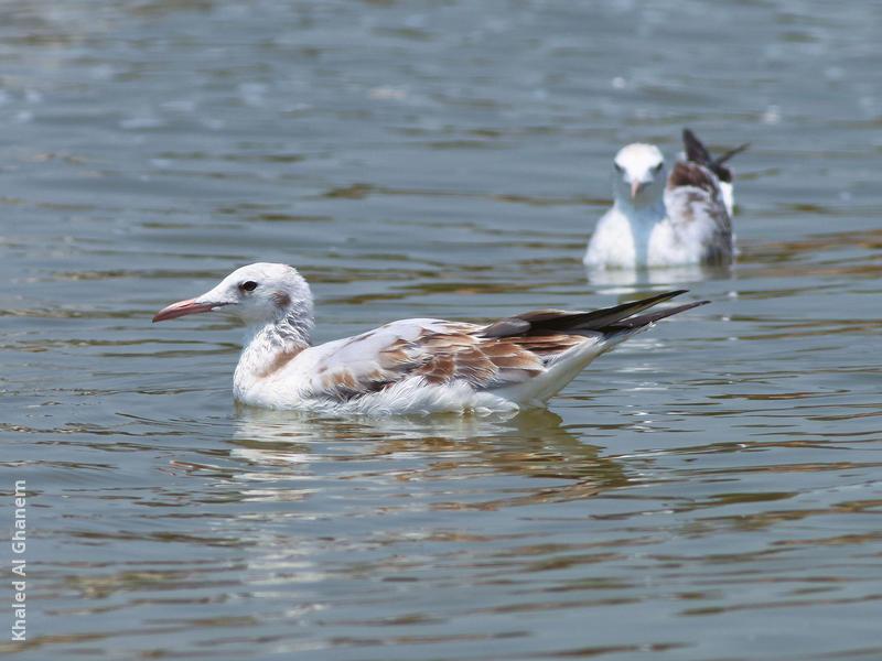 Slender-billed Gull (Juveniles)