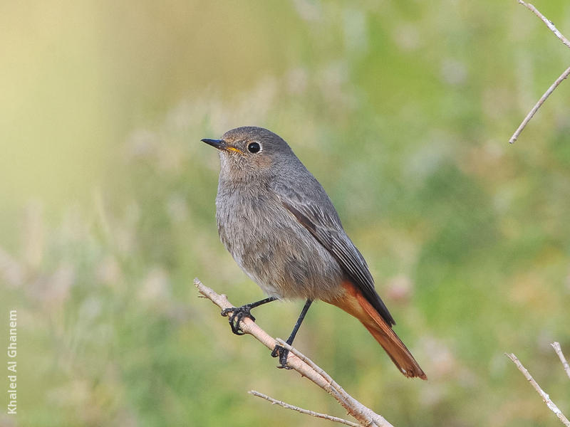 Western Black Redstart (Female)