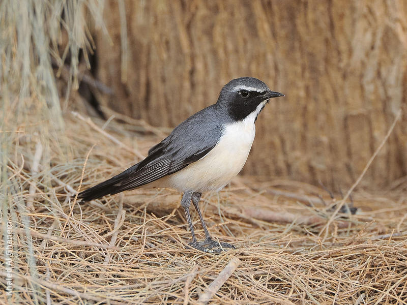 White-throated Robin (Male pale variant)