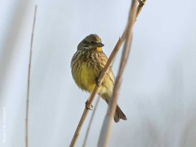 Yellowhammer (Non-breeding plumage)