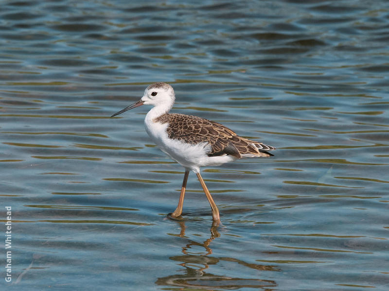 Black-winged Stilt (Juvenile)