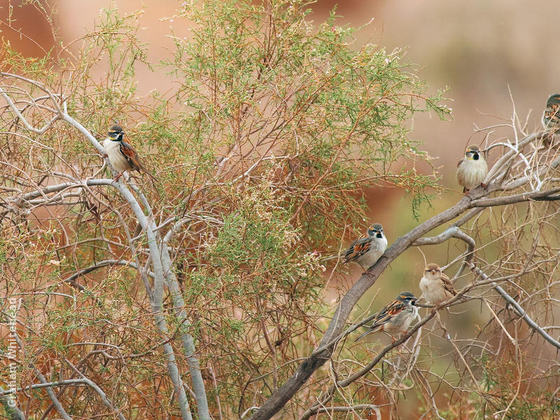 Dead Sea Sparrow (Males and females)