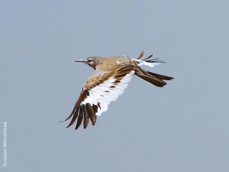 Greater Hoopoe-Lark in flight