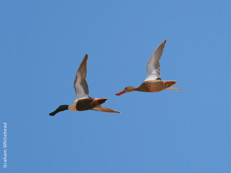 Northern Shoveler (Male and female)