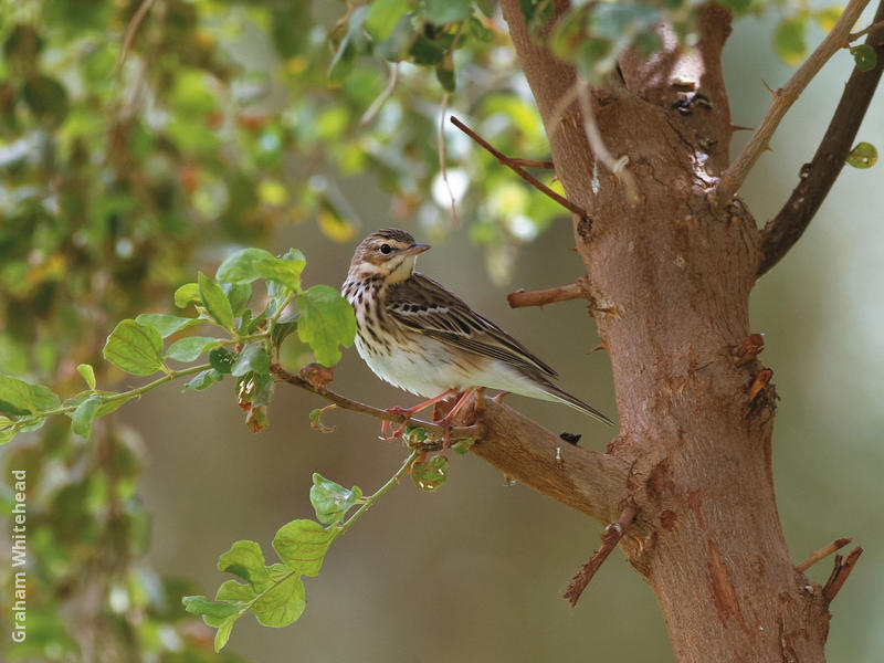 Tree Pipit (Non-breeding)