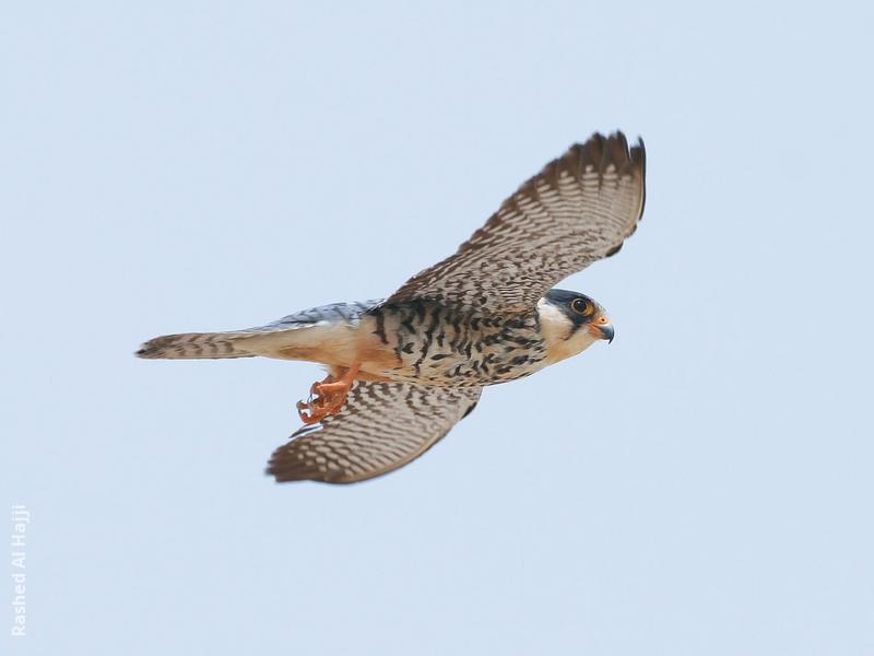 Amur Falcon (Female)