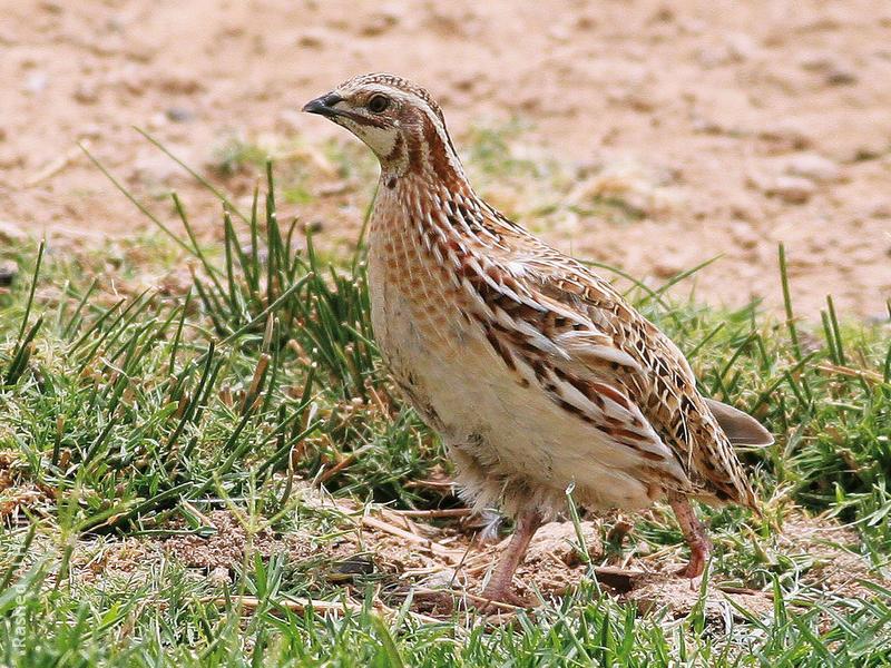 Common Quail - Female